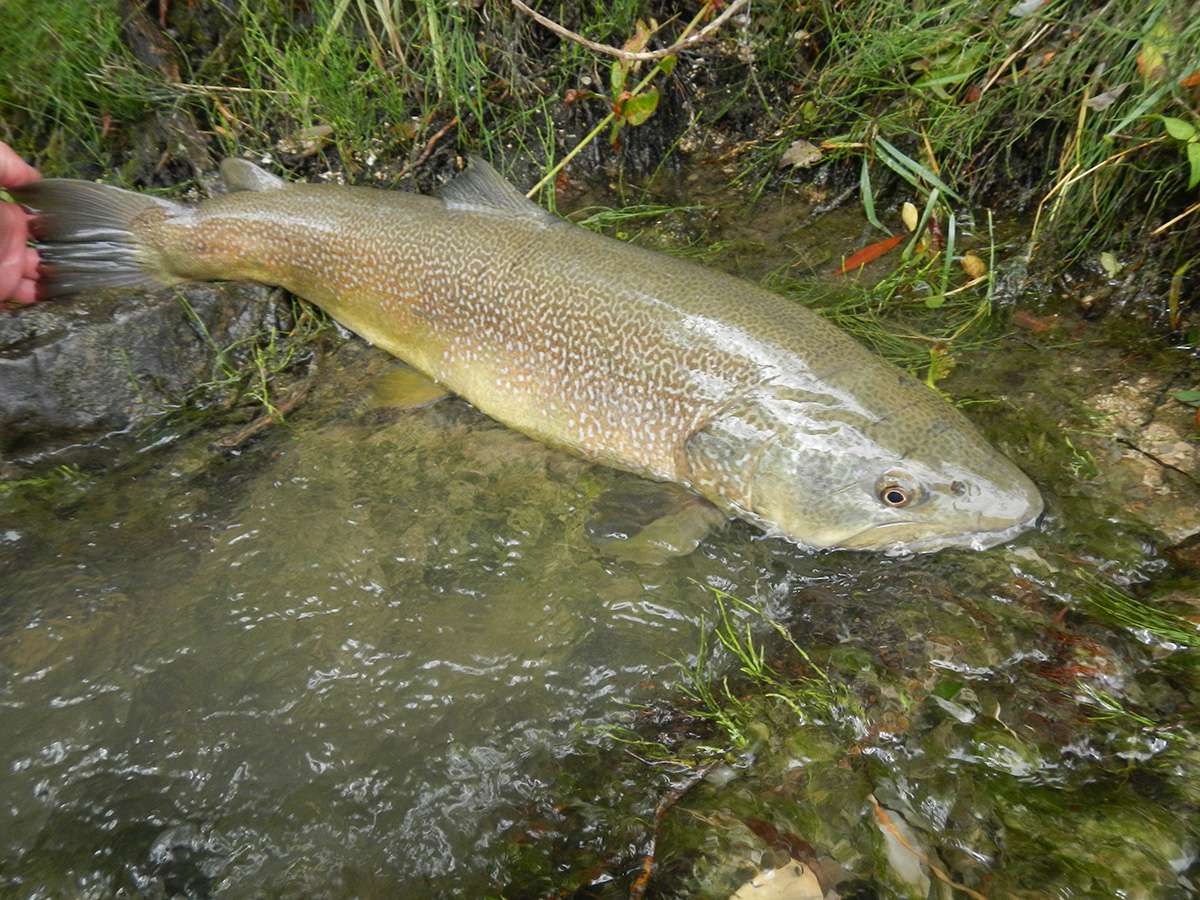 Where to catch marble trout fly fishing slovenia europe for Trout fly fishing
