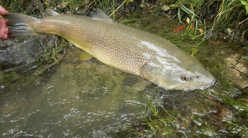 Where To Catch Marble Trout Fly Fishing In Slovenia Europe