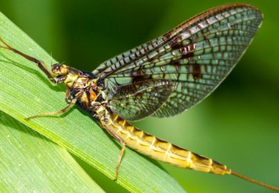 All fly anglers should know these insects